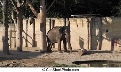 Dancing elephant - Happy elephant - Elephas maximus dancing...