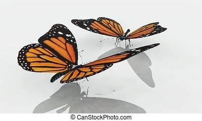 Dancing monarch butterflies