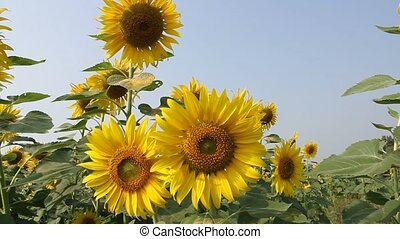 dancing sunflower - Sunflowers in full bloom dancing in the...