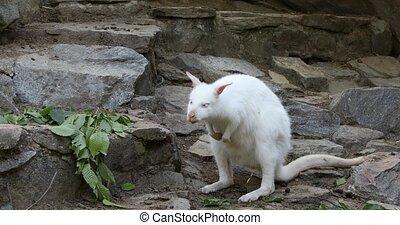 dancing white albino kangaroo, Red necked Wallaby - Dancing...