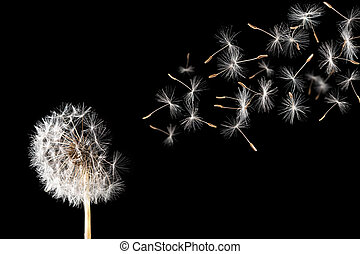Dandelion - A dandelion against a black background.