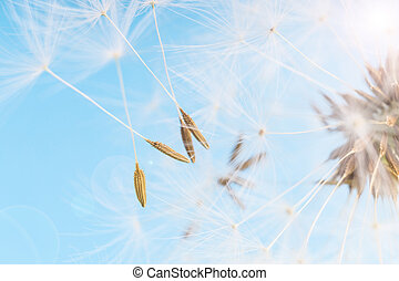 Dandelion abstract blue background. Shallow depth of field.