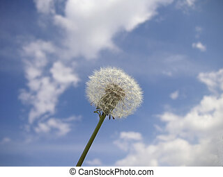 dandelion against the sky and clouds