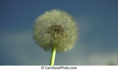 Dandelion against the sky.