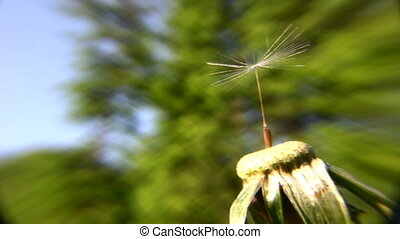 dandelion alone