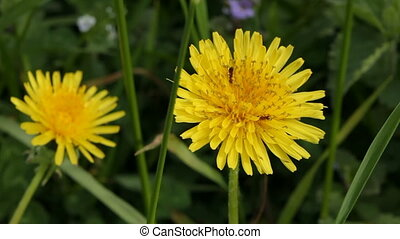 Dandelion and ants - Ants drink nectar from a flower