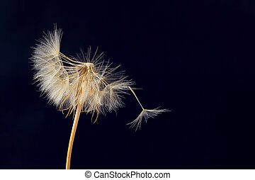 dandelion and its flying seeds on a dark blue background