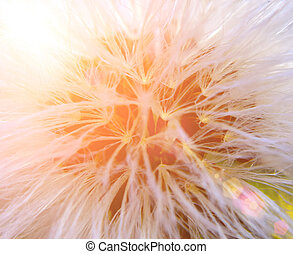 Dandelion and sun
