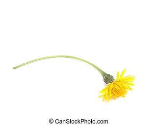 Dandelion autumn on a white background