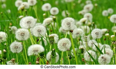 Dandelion - Beautiful dandelions in the spring meadow