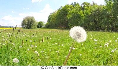 Dandelion being blown. Dandelion seeds are being blown and...