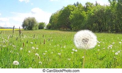Dandelion being blown in slow motion. Dandelion seeds are...