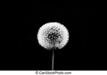 Dandelion - Black and white dandelion