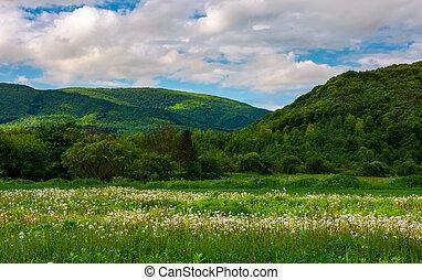 dandelion blossom on a rural field