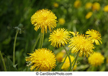 dandelion blossom on the field