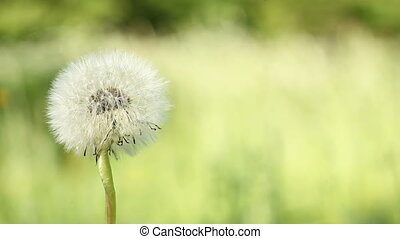 Dandelion blow-ball on the meadow