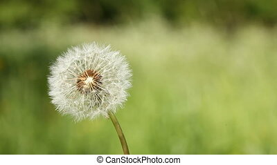 Dandelion blow-ball on the wind