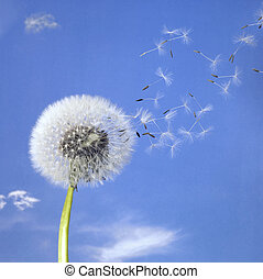 dandelion blowball and flying seeds - blowball and seeds in...