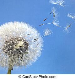 dandelion blowball and flying seeds - dandelion seeds in...
