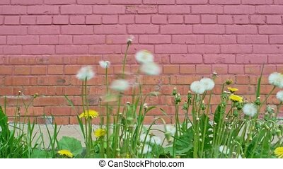 Dandelion blowball in front of brick wall of pink color blow...