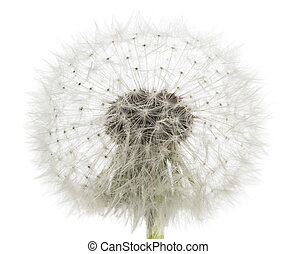 dandelion blowball isolated on white background