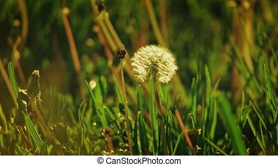 Dandelion blowball moving lonely in the grass field