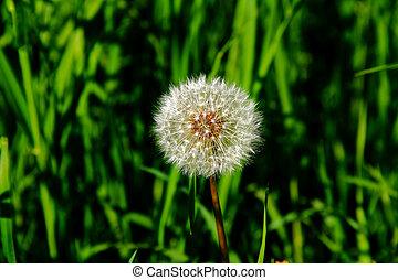 dandelion blowball on a background of fresh green grass