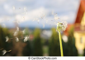 dandelion blowing seeds in the wind