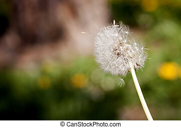 Dandelion blowing seeds