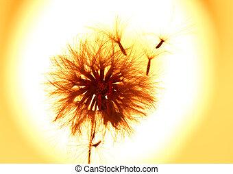 Dandelion blowing seeds in the wind.
