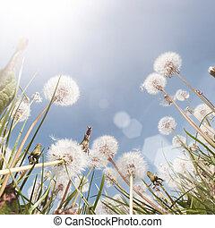 dandelion, campo, verão