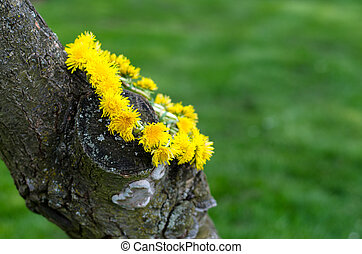 dandelion chain - chain of yellow dandelion flower
