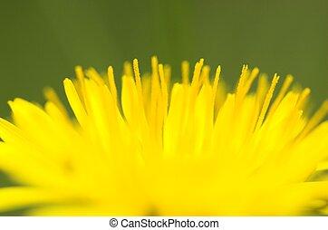Dandelion Close-up 3