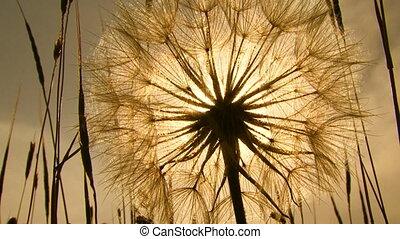 Dandelion. Close-up - Dandelion in a field. Sepia toned...