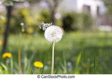 Dandelion - Close up of a dandelion on grass