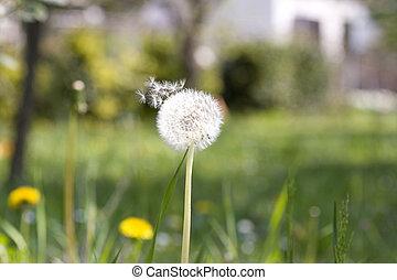 Dandelion - Close up of a dandelion on grass