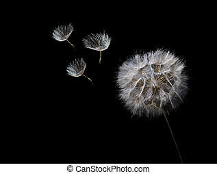 Dandelion - Close up of dandelion seed head with 3 seeds ...