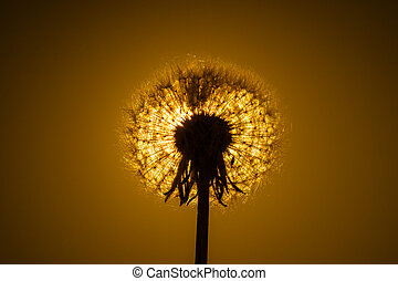 Dandelion close-up on the background sunset