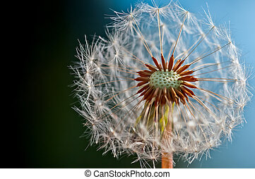 Dandelion - Close up