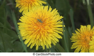 Dandelion. - Close up shot of grasshopper on a flower of...