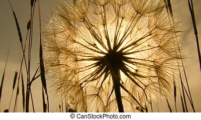 Dandelion. Close-up - Dandelion in a field. Sepia toned...