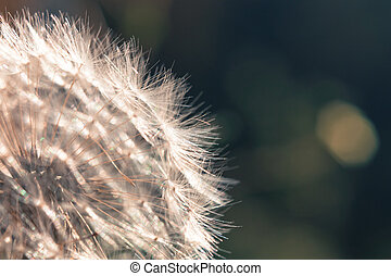 dandelion - close up view of white flower