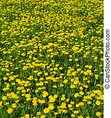 dandelion clump