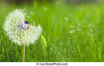 dandelion, com, um, âmago terra