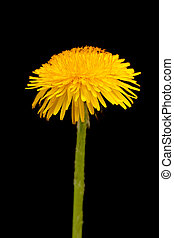 dandelion - dabdelion yellow flower isolated on black