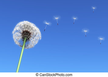 Dandelion - dandelion and some flying seeds carried by the...