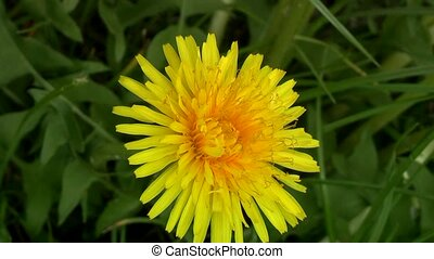 dandelion - Dandelion in the woods in the spring.