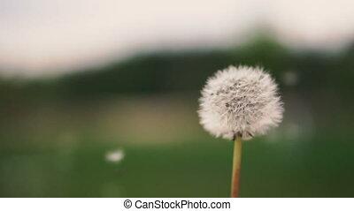 Dandelion. Dandelion swells in the wind