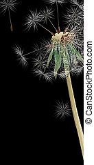 Dandelion - drawing of beautiful dandelion in a black...