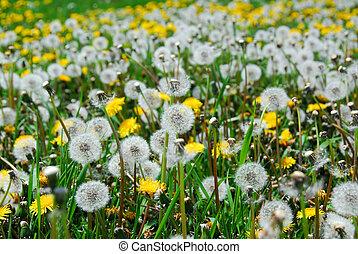 Dandelion field - A field of blooming and seeding dandelions